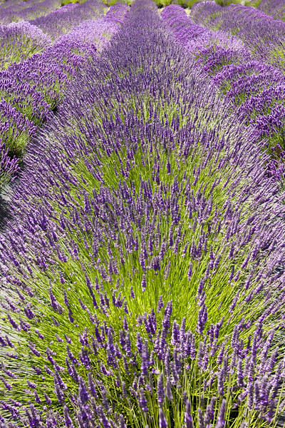 One long row of lavender plants on a farm stretches in a field from end to end.