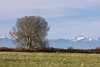 An old oak tree with bare branches stands in a field. In the distance, across the Straits of Juan de Fuca, the Oliympic Mountains are partially covered in snow.