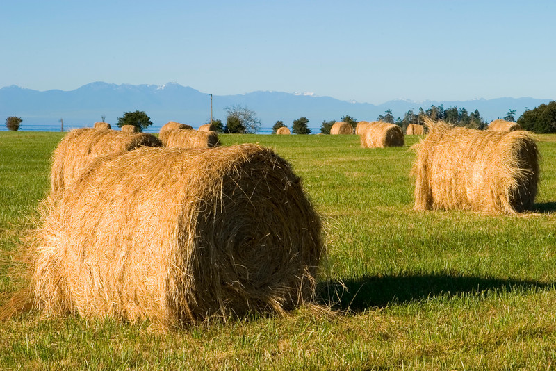 Bales of hay are nicely rolled up in a field after the grass was cut and dried. The Olympic Mountains are in the background.