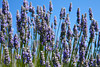 Close-up view of lavender blossoms ready for pciking that are outlined against the sky.