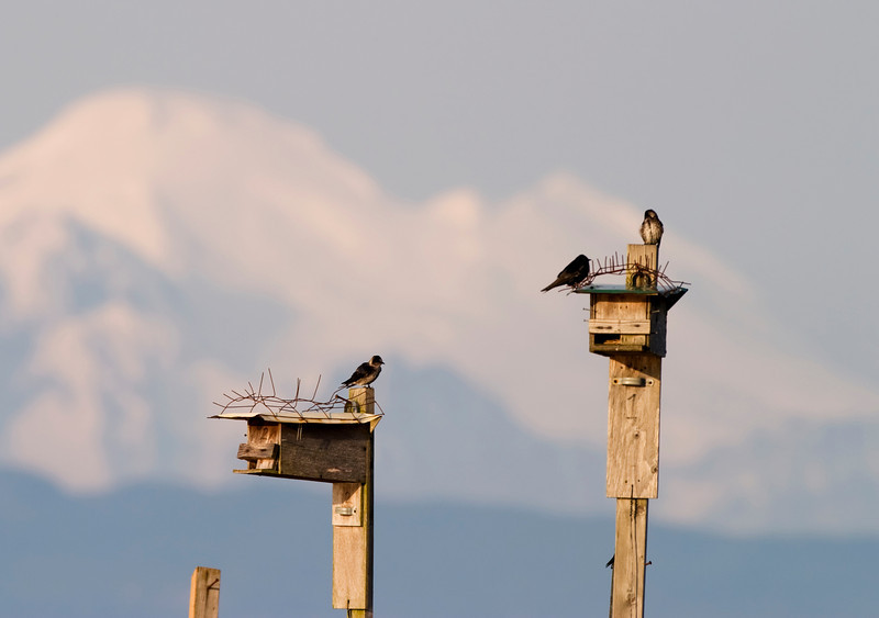 In front of Mt. Baker, birds are perched on their birdhouses which are located at the top of old dock pilings.