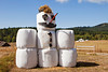A snowman made of hay bales, a broom handle, and black duct tape is an unusual oddity in the farmland of San Juan Island in Washington State.