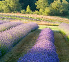 Rows of lavender flowers growing on a farm with trees in the background. This landscape is similar to what might be seen in Provence.