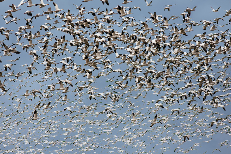 A large flock of snow geese (chen caerulescens) circling overhead while looking for a field to land on. The birds migrate through the Skagit River Valley on their annual migratory pattern to and from the Arctic.