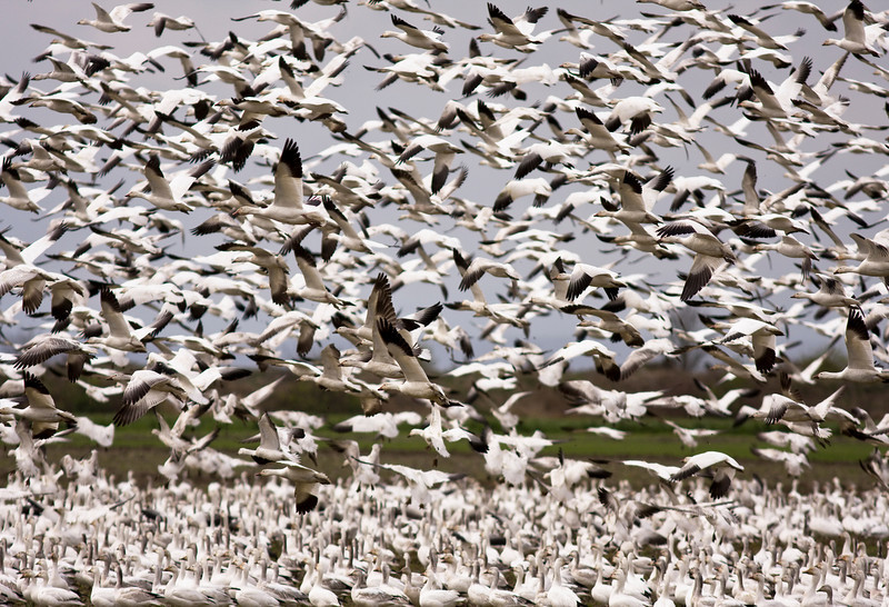 An enormous flock of snow geese in mid-air during their migration. This flock of black and white birds was located in the Skagit Valley in Washington.