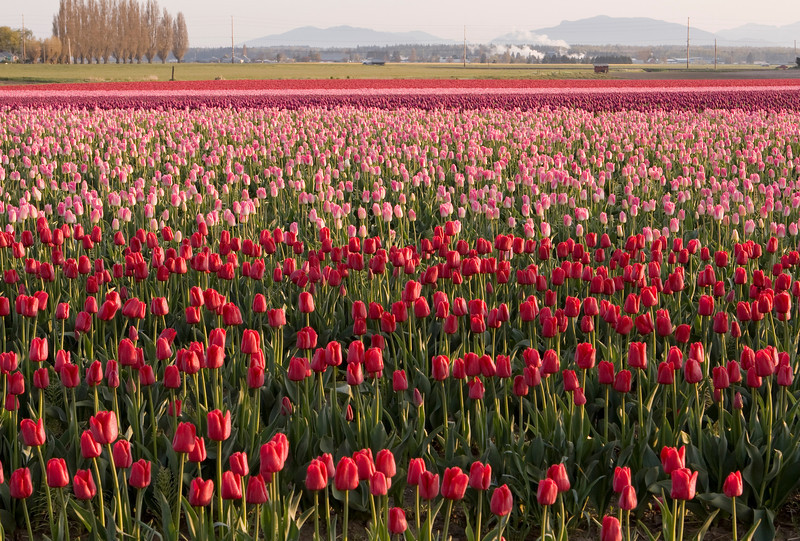 A farm with a field of tulips in the Skagit Valley. As part of the annual Tulip Festival, farms are bright with the colorful flowers.