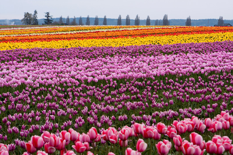 A field of tulips in full bloom during the annual Skagit Valley Tulip Festival held in the spring. The bright blossoms provide a splash of color that runs through the agricultural area.
