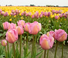 A few rows of blooming pink and yellow flowers in a field during the annual Skagit Valley Tulip Festival.
