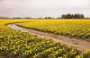 A field at a farm in the Skagit Valley that is filled with thousands of daffodil (genus: Narcissus) flowers that are in full bloom as spring starts. A single road winds through the flower rows in the field.