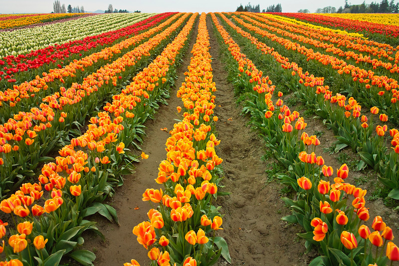 A field of multi-colored tulips (iliaceae tulipa) on a farm with rows stretching to the horizon. The field is at its peak during the Skagit Valley tulip festival.
