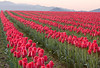 Rows of red tulips (liliaceae tulipa) in a field during the annual Skagit Valley tulip festival which takes place in the spring.