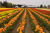 A farm and field with rows of brightly colored tulips (liliacaea tulipa) that are in full bloom during the Skagit Valley Tulip Festival.