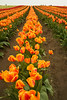 A long row of orange tulips on a farm. During the annual Skagit Valley tulip festival in Washington State, USA, the flower farms put on a great display of bright colors.
