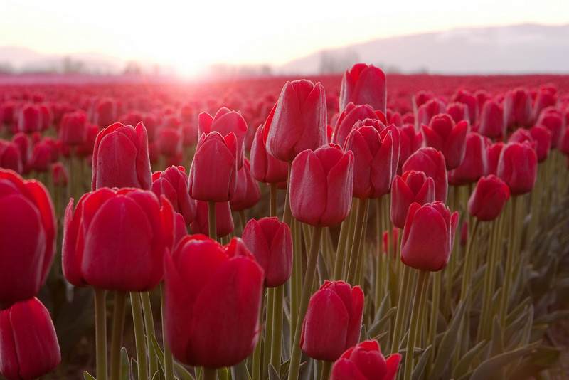 A field of red tulips (liliaceae tulipa) in full bloom during the annual Skagit Valley Tulip Festival in Washington State. The petals are backlit and glowing brightly by the flare of the sun peaking over the horizon. Together with the rose, this is a beautiful red flower for romance on Valentine's Day.
