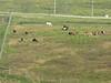 The horse herd