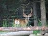 Mule Deer at Signal Mountain Lodge