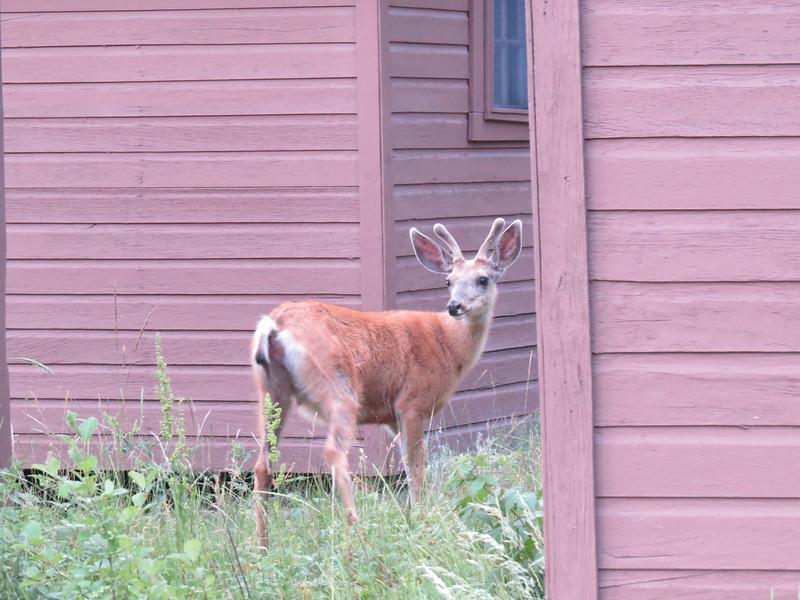 Mule Deer at Roosevelt