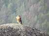 Red-tailed Hawk, Lamar Valley