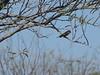 Vermilion Flycatcher (Copper Canyon Golf Course)