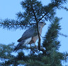 Cooper's Hawk at our VRBO