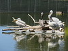 Brown Pelicans and American White Pelicans