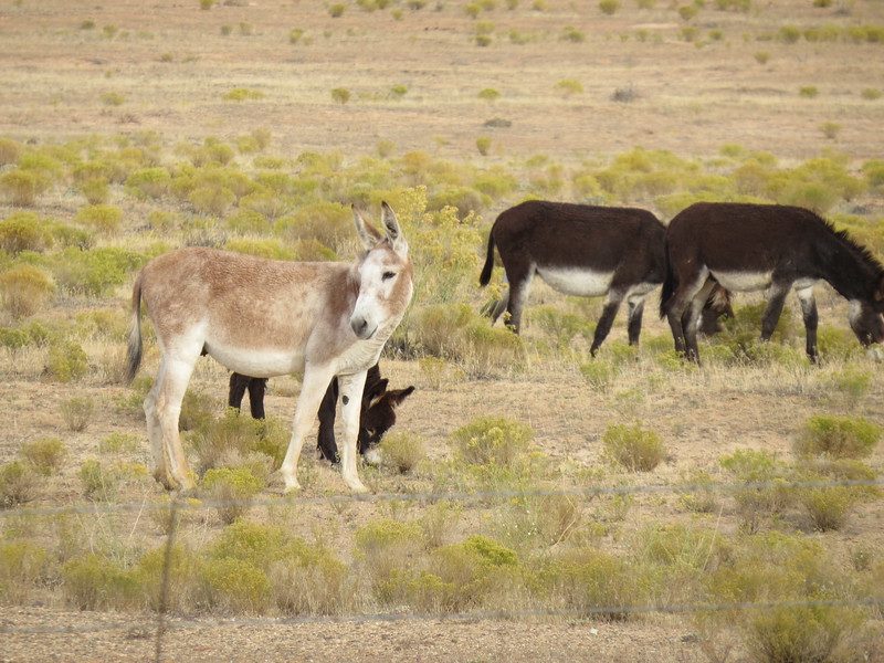 Roadside burros on the drive to Hovenweep.