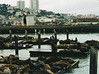 Sea Lions at Pier 39.