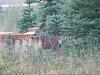 Mule Deer Fawn at Wuksachi