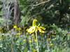 Wildflower on the way to Tokopah Falls