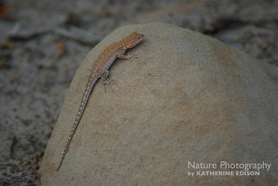 Plateau Side-Blotched Lizard