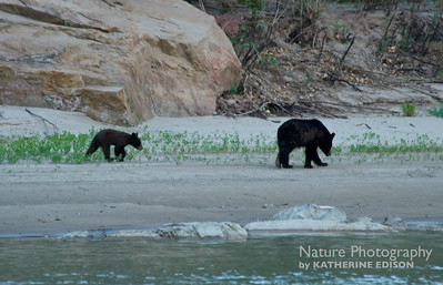 Black Bear Sow and Cub