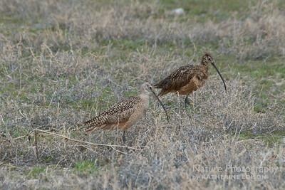 Long-billed Curlews