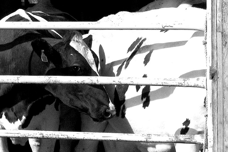 Mooo - We stopped at a dairy farm near the road. This cow was giving me the eye. The black and white dairy cows in New England are different from the brown cattle we have in California.