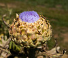 Bright blue blossoms provide some color on an artichoke head that is going to seed on an organic farm on Waldron Island in Washington State.