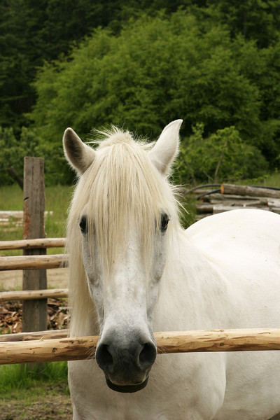 A white pony standing in a corral. This old mare was hoping for an apple as she kept her head over the railing.