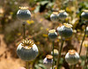 Poppies in a garden after blooming. The soft focus in the background is impressionistic.