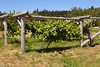 A grapevine growing healthily is centered in the middle of a wood trellis on an organic farm in Washington State.