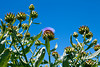 A crop of artchokes growing and highlighted against a blue sky. One has gone to flower with a bright purple blossom.