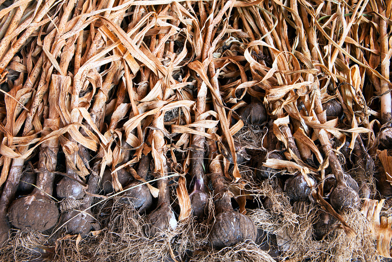 A drying rack filled with a full crop of organic garlic. The stalks are dry and the roots are still covered with soil from the harvest.