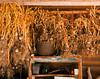 A crop of garlic from an organic farm hanging to dry in a shed after the harvest.