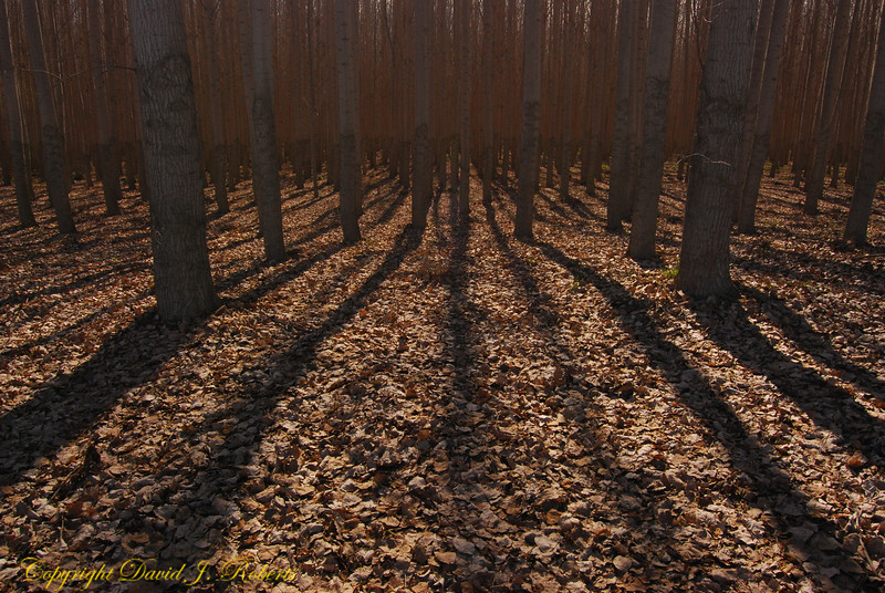 Sunlight through a hybrid cottonwood plantation near Arlington, Oregon