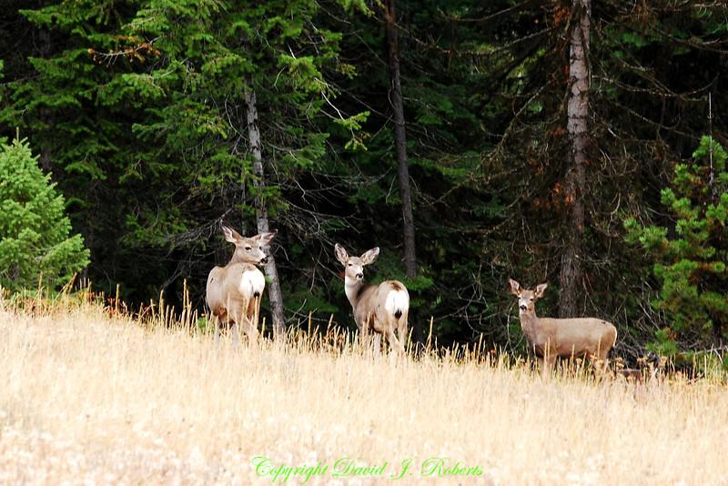 Deer near Snake River, Oregon