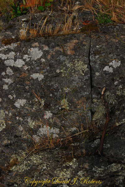 Typical chert rock of the San Juan Islands with lichen and moss.