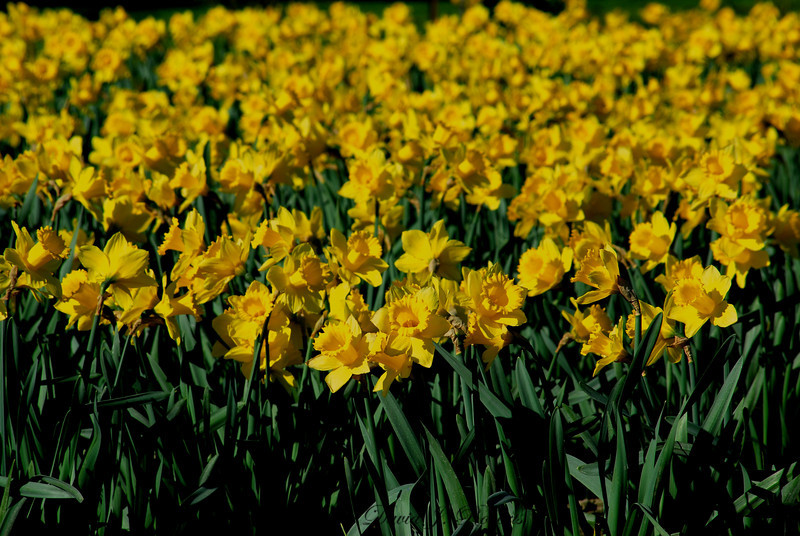 Daffodils in the morning sun in the Skagit Valley