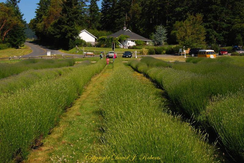 Pelindaba Lavender Farm, San Juan Island, Washington