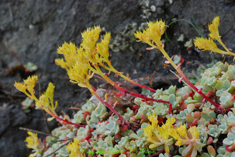 Succulents growing in the rocks, Judd Cove, Orcas Island, Washington