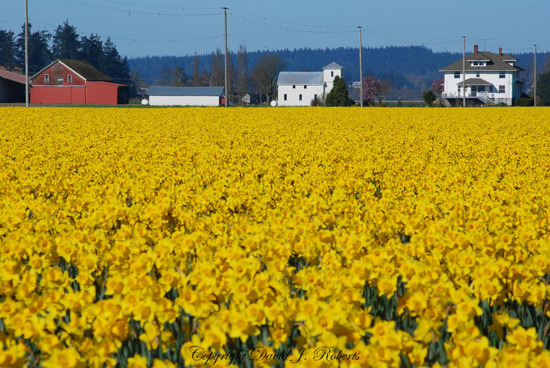 A sea of daffodils and a colorful farm