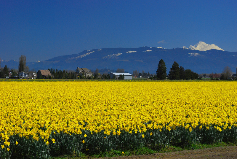 Skagit daffodils with Mount Baker in the distance