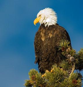 Eagle 1 Bald
