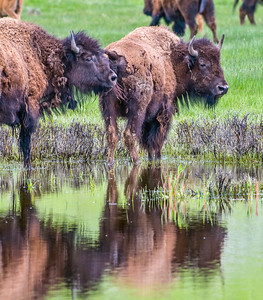Yellowstone_Bison-27